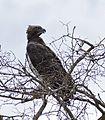Martial Eagle (Polemaetus bellicosus) (32663052674).jpg