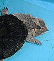 Mata mata in Pata Zoo 2.jpg