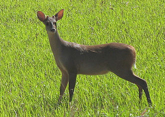"Archaeology and the Book of Mormon - Brocket deer: Some Mormon apologists believe that ""goat"" in the Book of Mormon refers to brocket deer in order to explain the apparent anachronism."