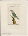 Megalaima zeylonica - 1772-1829 - Print - Iconographia Zoologica - Special Collections University of Amsterdam - UBA01 IZ18800070.tif
