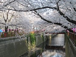 Cherry trees along the Meguro River, near Nakameguro