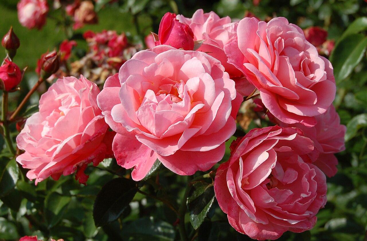 File Mein Schoner Garten Jpg Wikipedia