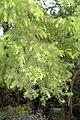 Melaleuca bracteata - Chengdu Botanical Garden - Chengdu, China - DSC03681.JPG