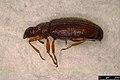 Melanophthalma sp. (37858569576).jpg