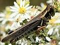 Melanoplus sanguinipes-female.jpg