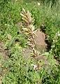Melica altissima kz04.jpg