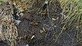 Melitaea athalia - Heath fritillary - Шашечница аталия (48127139106).jpg