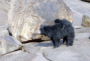 Daroji Sloth Bear Sanctuary - A female sloth bear with cubs in the sanctuary