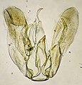 Merrifieldia baliodactylus (31246278294).jpg