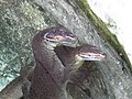 Mertens' Water Monitors - Currumbin Wildlife Sanctuary - Currumbin - Queensland - Australia (35782178261).jpg