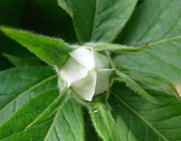 Flower bud showing petals and sepals