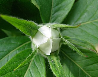 Mespilus germanica - Flower bud