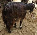 Messinese Goat.JPG
