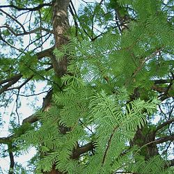 Metasequoia glyptostroboides - June 2006.jpg