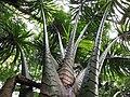 Metroxylon amicarum - Keanae Arboretum, Maui, Hawaii by Forest and Kim Starr.jpg
