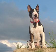 Miniature Bull Terrier - Wikipedia