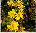 Mist Lane Wildflowers - Flickr - pinemikey.jpg