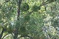 Mistletoe (2717197445).jpg