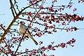 Mockingbird (18558740823).jpg