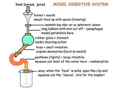 Diagram of the digestive system model