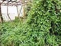 Momordica charantia (4).JPG