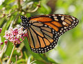 Monarch Butterfly Danaus plexippus Feeding.jpg