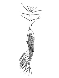 Monstrilla longiremis.jpg