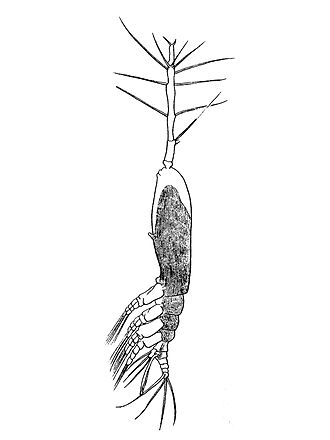 Monstrilloida - Monstrilla longiremis
