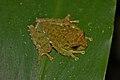 Mossy Tree Frog (Rhacophorus everetti) (6967257302).jpg