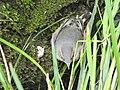 Motacilla cinerea (43691415395).jpg
