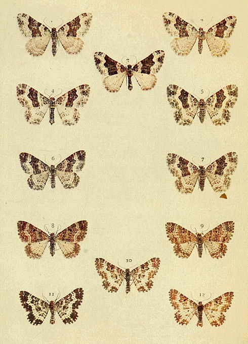 Moths of the British Isles Series2 Plate081.jpg