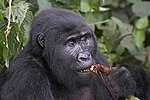 Mountain gorilla (Gorilla beringei beringei) female eating root.jpg