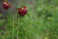Mountain purple pitcher plant flowers (14328935885).jpg
