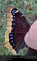 Mourning Cloak or Velo de Duelo (Nymphalidae, Nymphalis antiopa) (31109010354).jpg