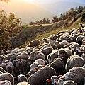 Moutons du Dévoluy.JPG