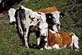 Mucche al pascolo - panoramio (1).jpg