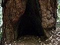 Muir Woods (50594).jpg