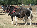 Mule Plough Team.jpg