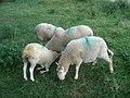 Multi-coloured sheep near The Kettle Sings restaurant - geograph.org.uk - 568793.jpg