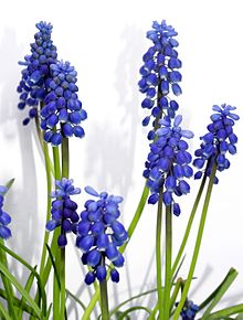 Muscari racemosum in Hungary.jpg