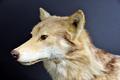 Museum Wiesbaden Europäischer Wolf.xcf