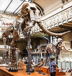 Mammuthus meridionalis - Mounted skeleton, Muséum national d'Histoire naturelle, Paris