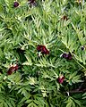 Myddelton House garden, Enfield, London, England - dark red peony.jpg