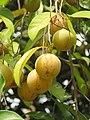 Myristica fragrans - Nutmeg - WikiSangamotsavam 2018, Kottappuram, Kodungalloor (7).jpg
