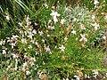 Myrtales - Oenothera lindheimeri - 2.jpg