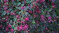 N20141205-0013—Loropetalum chinense var rubrum—Berkeley (15376649444).jpg