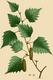 NAS-070a Betula pendula.png