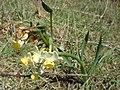 Narcissus tazetta Pointe des Poulains plant.jpg