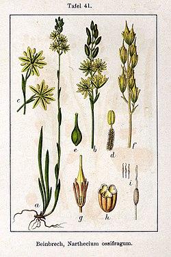 Narthecium ossifragum Sturm41.jpg