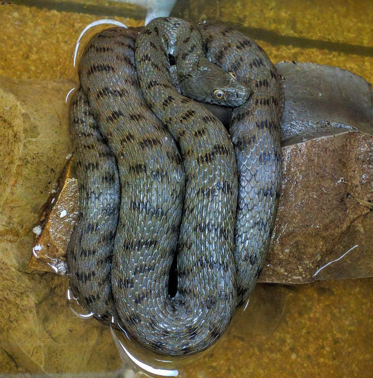 Tarhakäärmeet
